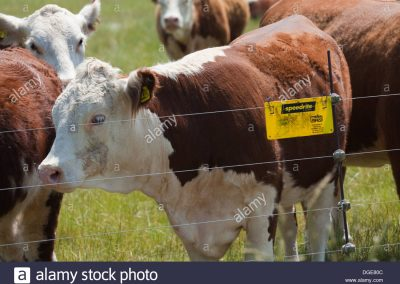 hereford-cattle-bos-taurus-retained-on-pasture-field-by-electric-fence-DGE80C